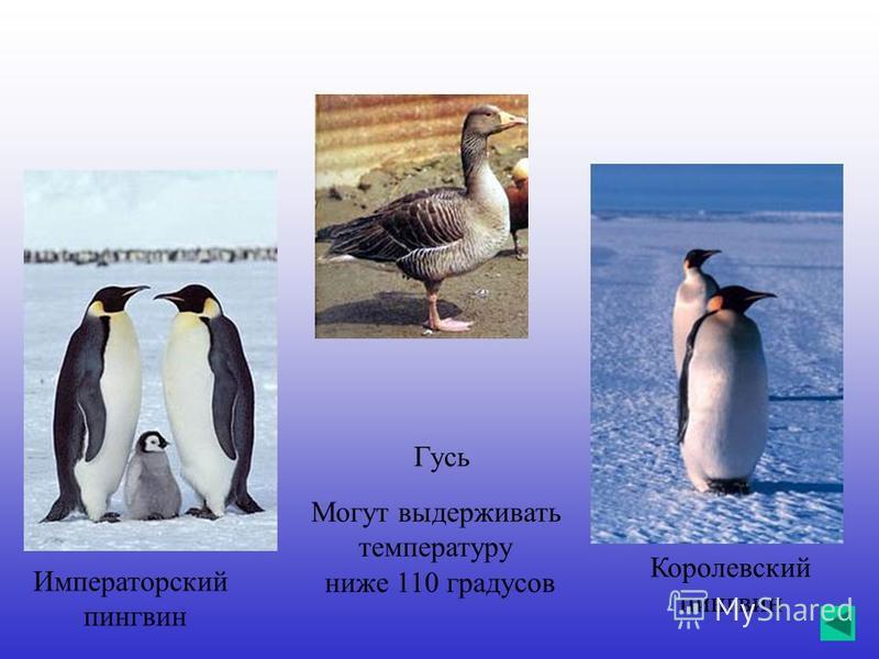 Императорский пингвин Королевский пингвин Гусь Могут выдерживать температуру ниже 110 градусов