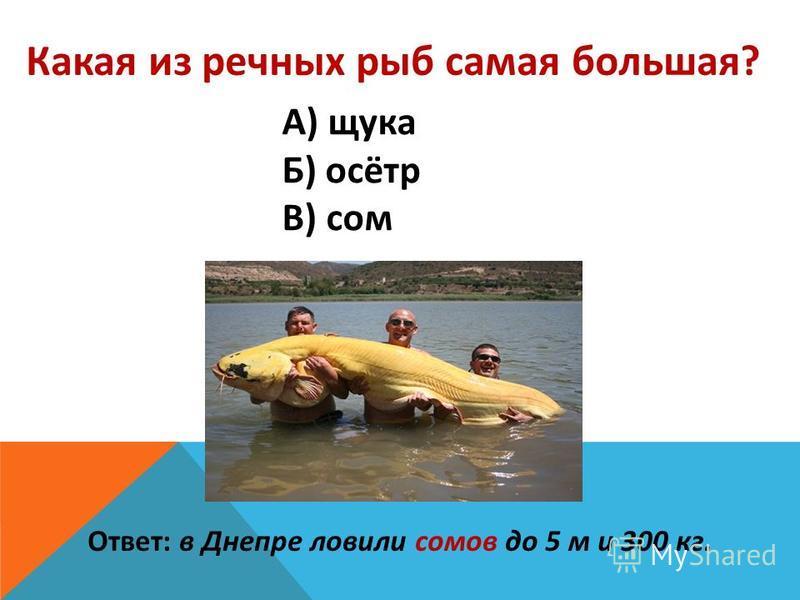 Какая из речных рыб самая большая? А) щука Б) осётр В) сом Ответ: в Днепре ловили сомов до 5 м и 300 кг.