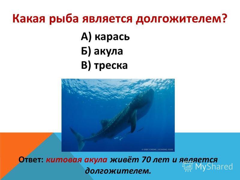 Какая рыба является долгожителем? А) карась Б) акула В) треска Ответ: китовая акула живёт 70 лет и является долгожителем.