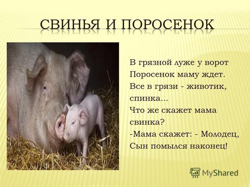 В грязной луже у ворот Поросенок маму ждет. Все в грязи - животик, спинка... Что же скажет мама свинка? -Мама скажет: - Молодец, Сын помылся наконец!
