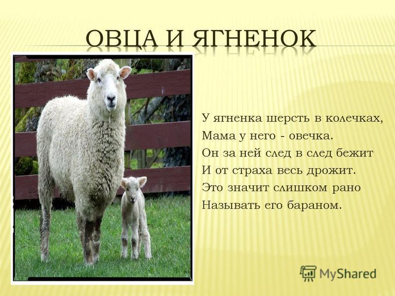 У ягненка шерсть в колечках, Мама у него - овечка. Он за ней след в след бежит И от страха весь дрожит. Это значит слишком рано Называть его бараном.