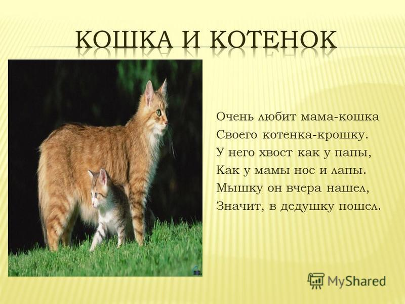 Очень любит мама-кошка Своего котенка-крошку. У него хвост как у папы, Как у мамы нос и лапы. Мышку он вчера нашел, Значит, в дедушку пошел.