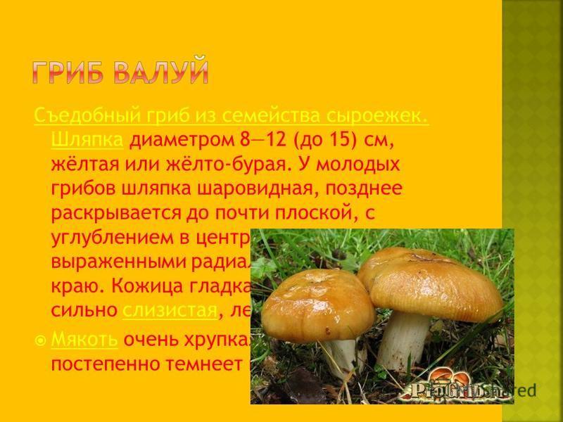 Съедобный гриб из семейства сыроежек. Шляпка Съедобный гриб из семейства сыроежек. Шляпка диаметром 812 (до 15) см, жёлтая или жёлто-бурая. У молодых грибов шляпка шаровидная, позднее раскрывается до почти плоской, с углублением в центре и чётко выра