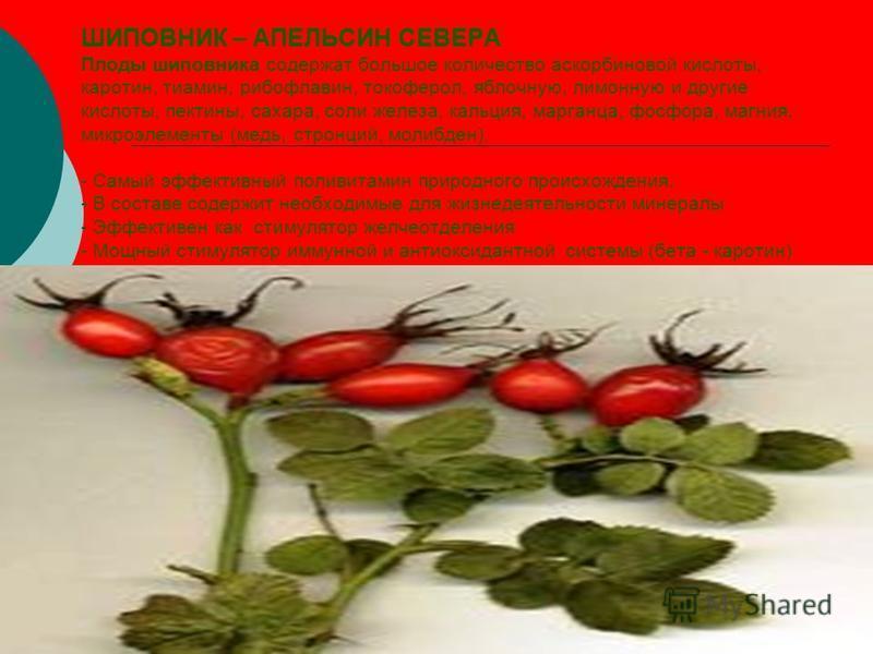 ШИПОВНИК – АПЕЛЬСИН СЕВЕРА Плоды шиповника содержат большое количество аскорбиновой кислоты, каротин, тиамин, рибофлавин, токоферол, яблочную, лимонную и другие кислоты, пектины, сахара, соли железа, кальция, марганца, фосфора, магния, микроэлементы