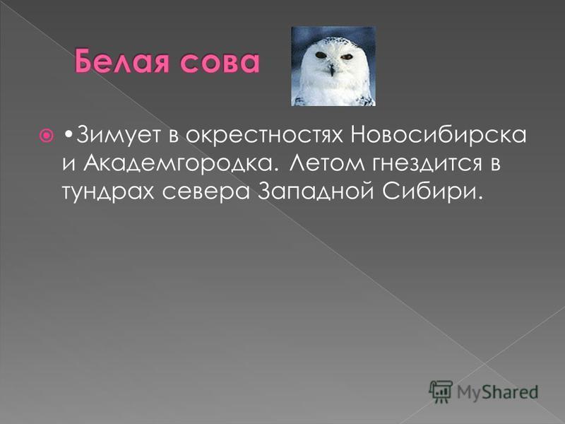 Зимует в окрестностях Новосибирска и Академгородка. Летом гнездится в тундрах севера Западной Сибири.