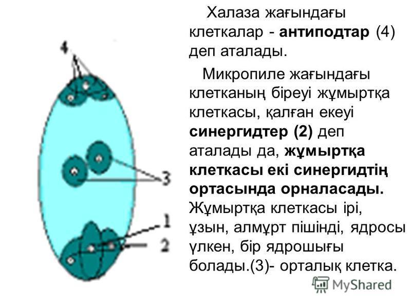 Халаза жағындағы клеткалар - антиподтар (4) деп аталады. Микропиле жағындағы клетканың біреуі жұмыртқа клеткасы, қалған екеуі синергидтер (2) деп аталады да, жұмыртқа клеткасы екі синергидтің ортасында орналасады. Жұмыртқа клеткасы ірі, ұзын, алмұрт