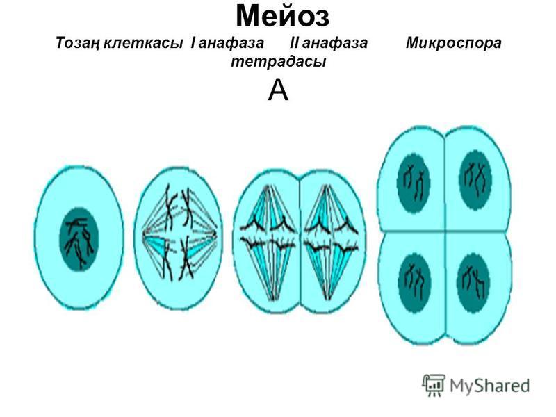 Мейоз Тозаң клеткасы І анафаза ІІ анафаза Микроспора тетрадасы А