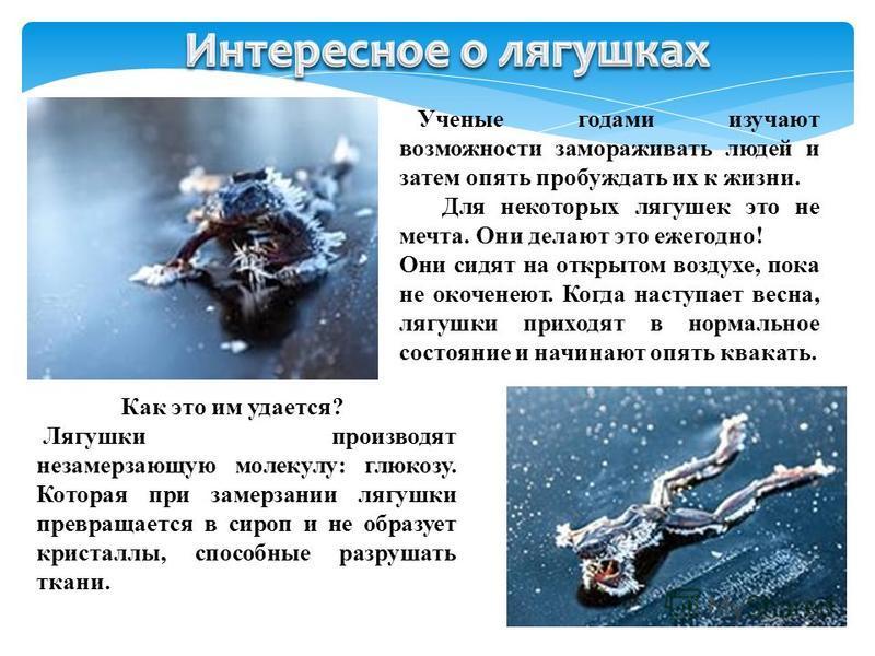 Ученые годами изучают возможности замораживать людей и затем опять пробуждать их к жизни. Для некоторых лягушек это не мечта. Они делают это ежегодно! Они сидят на открытом воздухе, пока не окоченеют. Когда наступает весна, лягушки приходят в нормаль