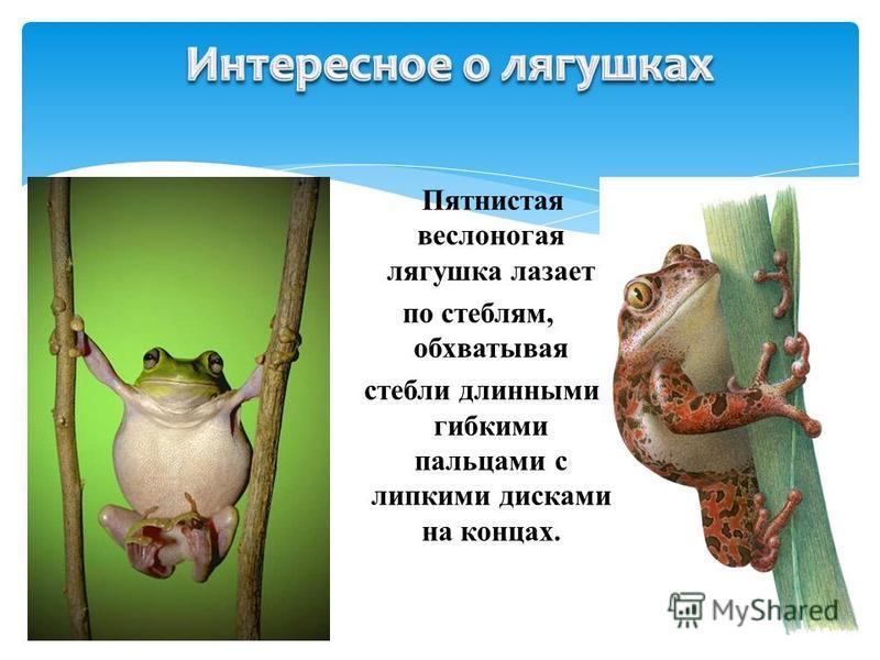 Пятнистая веслоногая лягушка лазает по стеблям, обхватывая стебли длинными гибкими пальцами с липкими дисками на концах.