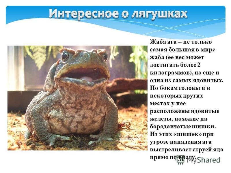 Жаба ага – не только самая большая в мире жаба (ее вес может достигать более 2 килограммов), но еще и одна из самых ядовитых. По бокам головы и в некоторых других местах у нее расположены ядовитые железы, похожие на бородавчатые шишки. Из этих «шишек