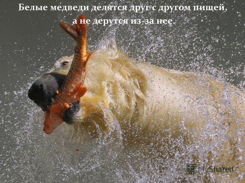Белые медведи делятся друг с другом пищей, а не дерутся из-за нее.
