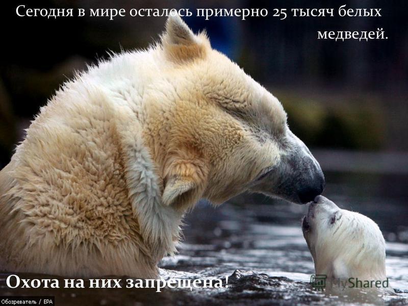 Сегодня в мире осталось примерно 25 тысяч белых медведей. Охота на них запрещена!