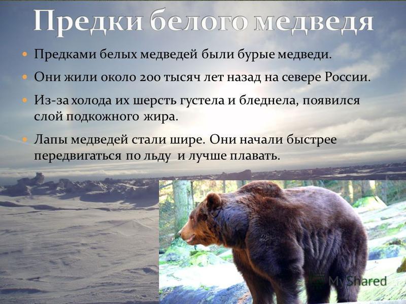Предками белых медведей были бурые медведи. Они жили около 200 тысяч лет назад на севере России. Из-за холода их шерсть густела и бледнела, появился слой подкожного жира. Лапы медведей стали шире. Они начали быстрее передвигаться по льду и лучше плав