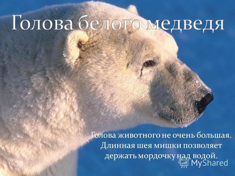 Голова животного не очень большая. Длинная шея мишки позволяет держать мордочку над водой.
