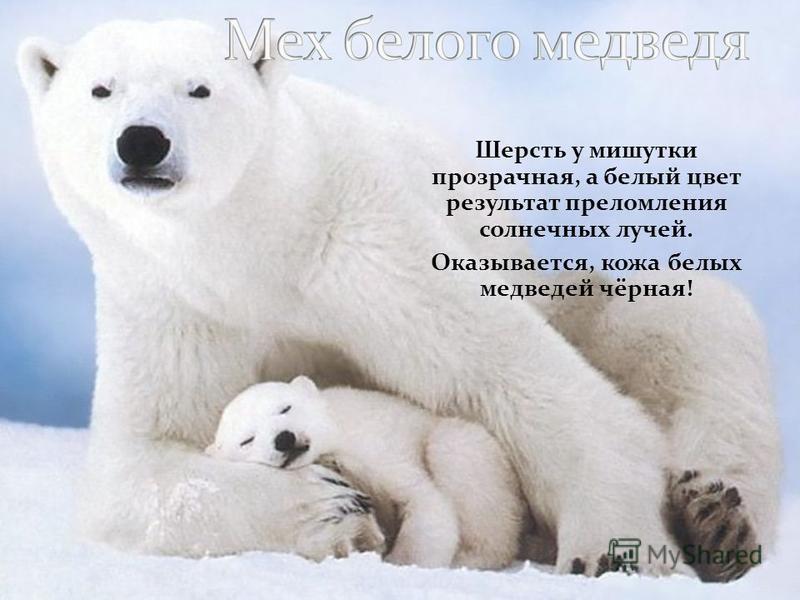 Шерсть у мишутки прозрачная, а белый цвет результат преломления солнечных лучей. Оказывается, кожа белых медведей чёрная!