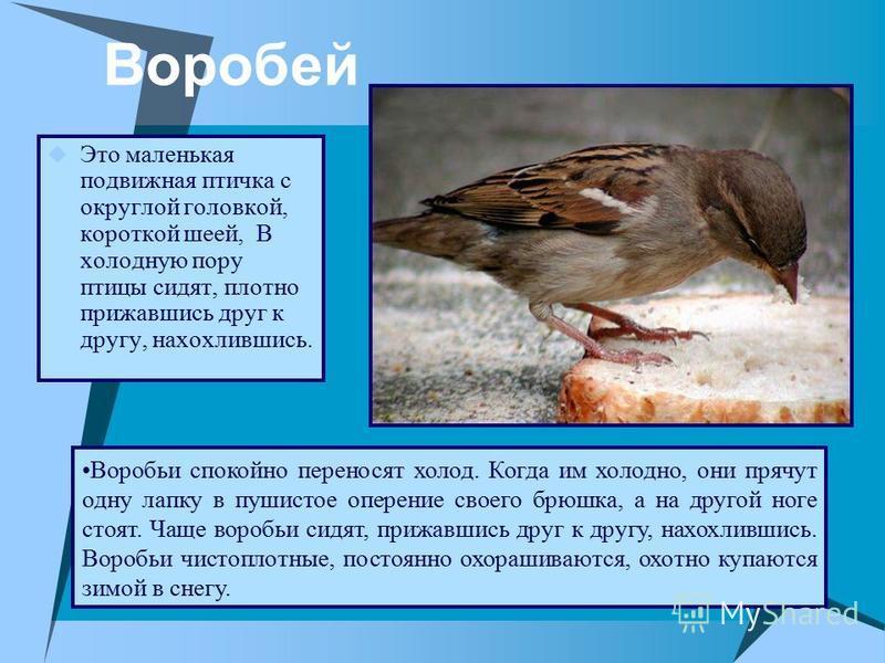 Воробей Это маленькая подвижная птичка с округлой головкой, короткой шеей, В холодную пору птицы сидят, плотно прижавшись друг к другу, нахохлившись. Воробьи спокойно переносят холод. Когда им холодно, они прячут одну лапку в пушистое оперение своего