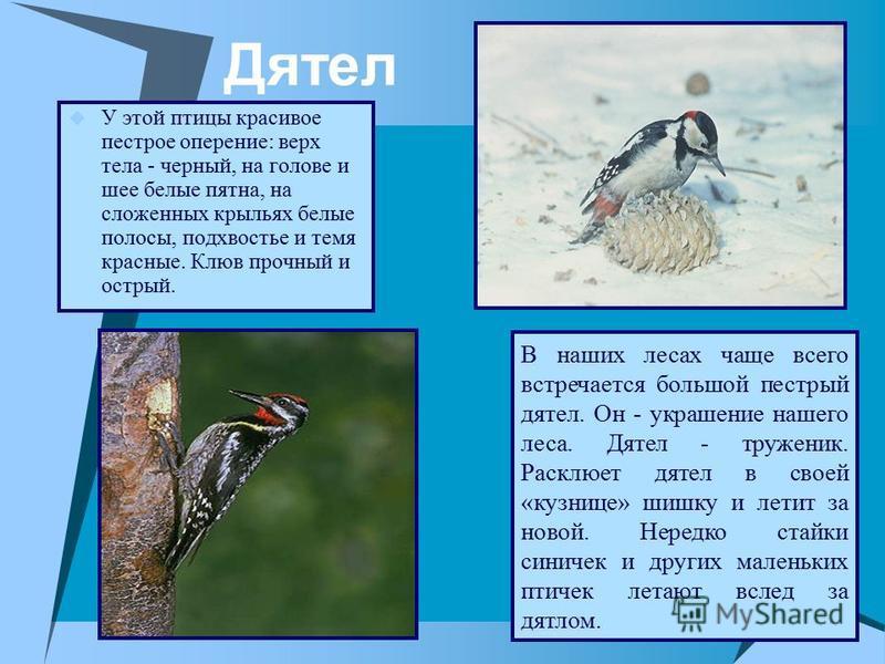 Дятел У этой птицы красивое пестрое оперение: верх тела - черный, на голове и шее белые пятна, на сложенных крыльях белые полосы, подхвостье и темя красные. Клюв прочный и острый. В наших лесах чаще всего встречается большой пестрый дятел. Он - украш