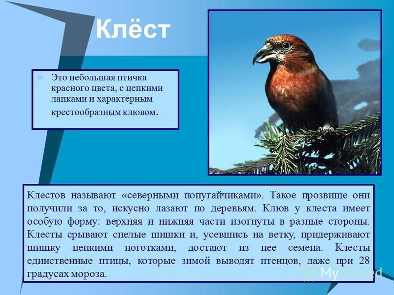 Клёст Это небольшая птичка красного цвета, с цепкими лапками и характерным крестообразным клювом. Клестов называют «северными попугайчиками». Такое прозвище они получили за то, искусно лазают по деревьям. Клюв у клеста имеет особую форму: верхняя и н