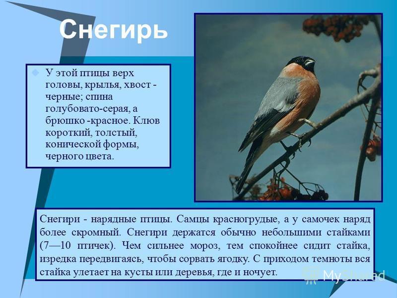 Снегирь У этой птицы верх головы, крылья, хвост - черные; спина голубовато-серая, а брюшко -красное. Клюв короткий, толстый, конической формы, черного цвета. Снегири - нарядные птицы. Самцы красногрудые, а у самочек наряд более скромный. Снегири дер