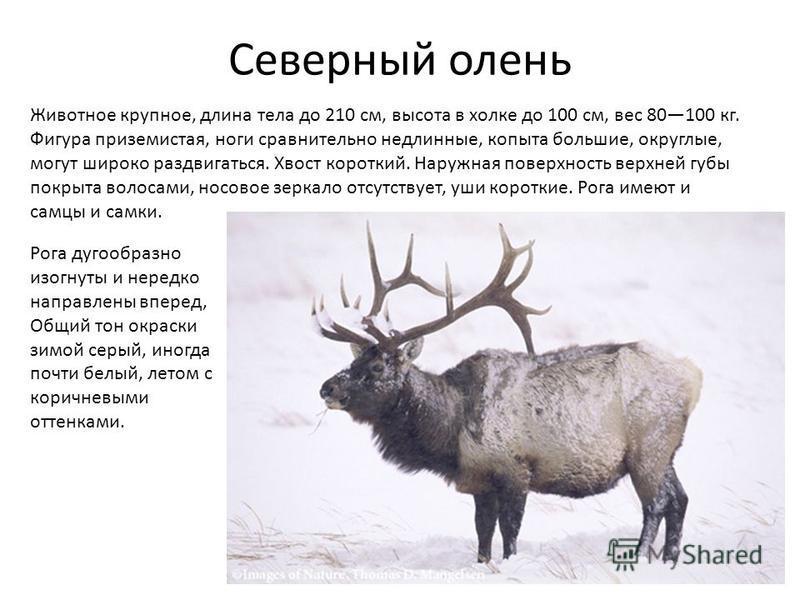 Северный олень Животное крупное, длина тела до 210 см, высота в холке до 100 см, вес 80100 кг. Фигура приземистая, ноги сравнительно недлинные, копыта большие, округлые, могут широко раздвигаться. Хвост короткий. Наружная поверхность верхней губы пок
