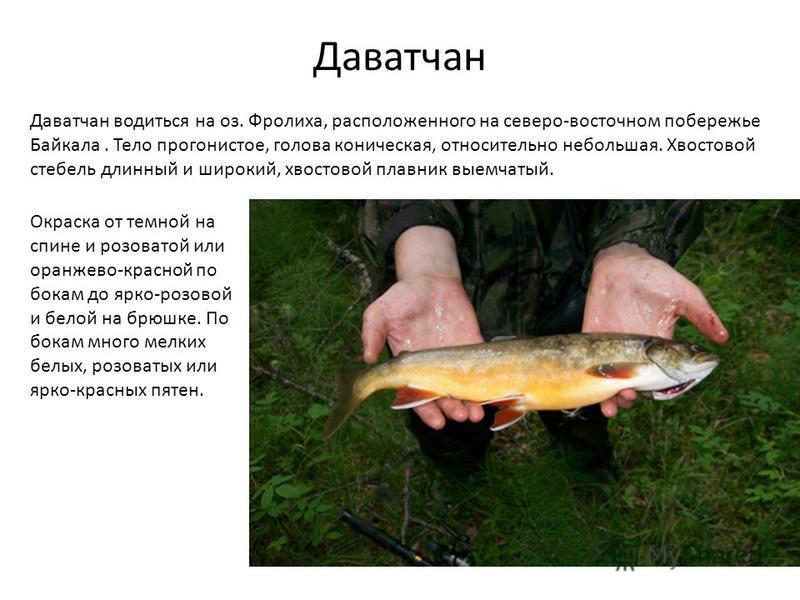 Даватчан Даватчан водиться на оз. Фролиха, расположенного на северо-восточном побережье Байкала. Тело прогонистое, голова коническая, относительно небольшая. Хвостовой стебель длинный и широкий, хвостовой плавник выемчатый. Окраска от темной на спине