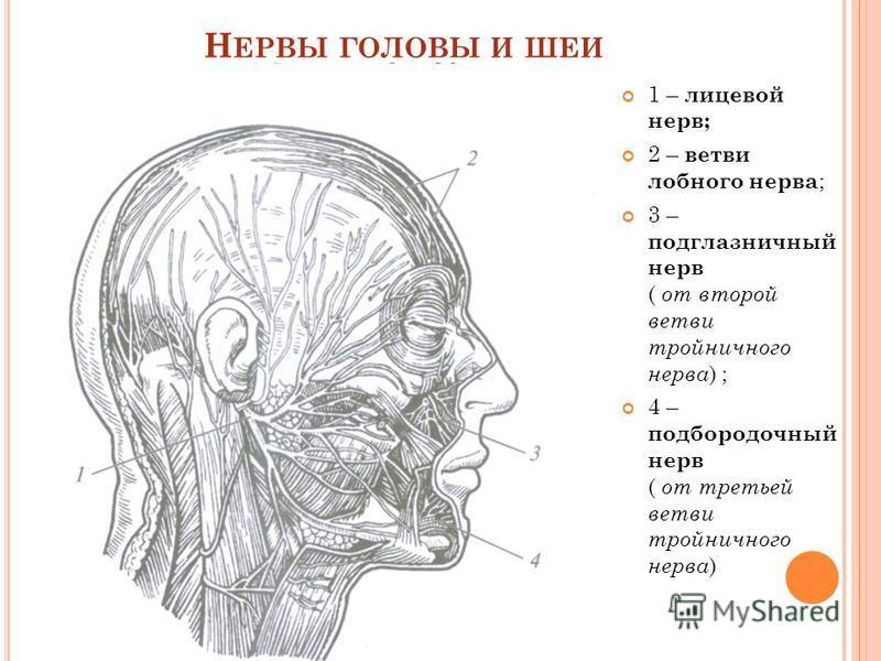 Н ЕРВЫ ГОЛОВЫ И ШЕИ 1 – лицевой нерв; 2 – ветви лобного нерва ; 3 – подглазничный нерв ( от второй ветви тройничного нерва ) ; 4 – подбородочный нерв ( от третьей ветви тройничного нерва )