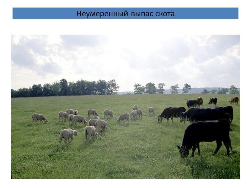 Неумеренный выпас скота