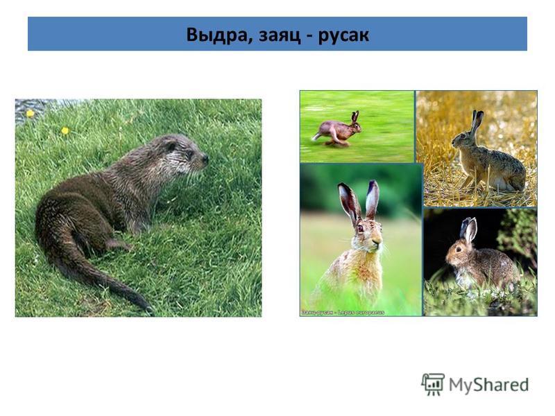 Выдра, заяц - русак