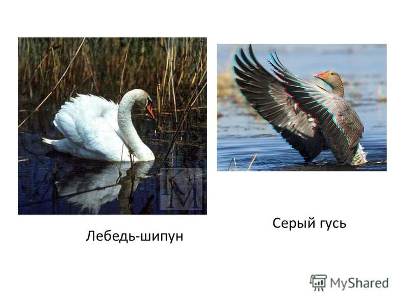 Лебедь-шипун Серый гусь