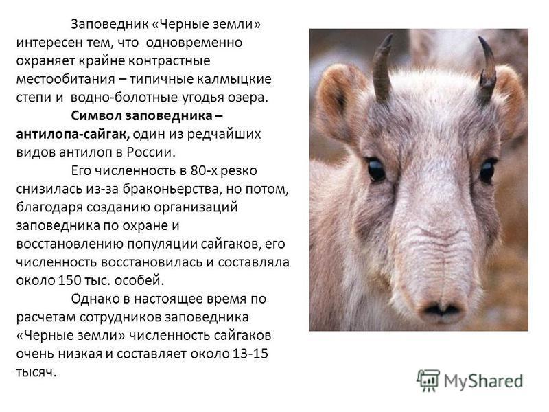 Заповедник «Черные земли» интересен тем, что одновременно охраняет крайне контрастные местообитания – типичные калмыцкие степи и водно-болотные угодья озера. Символ заповедника – антилопа-сайгак, один из редчайших видов антилоп в России. Его численно