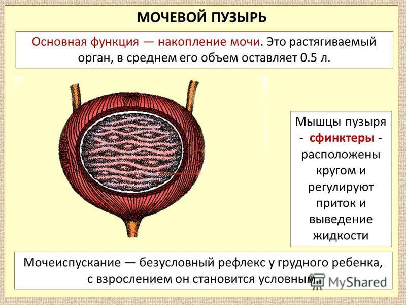 МОЧЕВОЙ ПУЗЫРЬ Мочеиспускание безусловный рефлекс у грудного ребенка, с взрослением он становится условным. Основная функция накопление мочи. Это растягиваемый орган, в среднем его объем оставляет 0.5 л. Мышцы пузыря - сфинктеры - расположены кругом