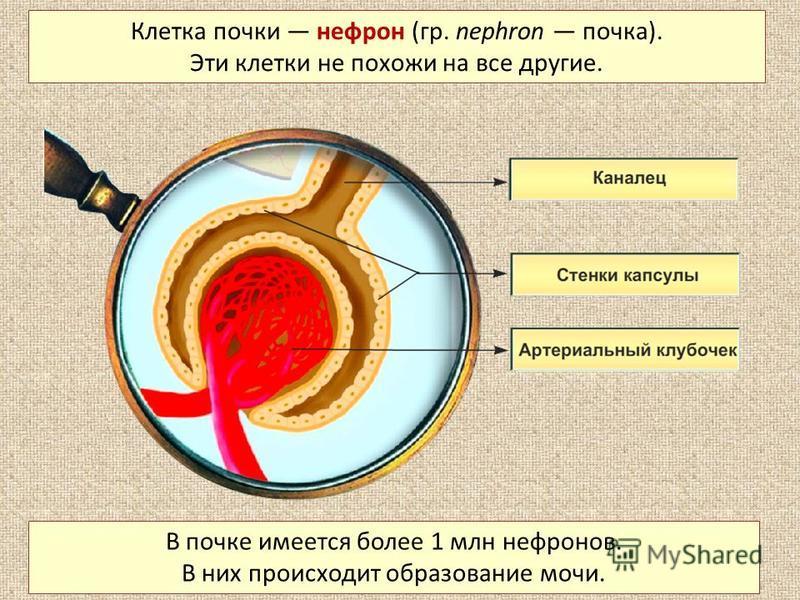 Клетка почки нефрон (гр. nephron почка). Эти клетки не похожи на все другие. В почке имеется более 1 млн нефронов. В них происходит образование мочи.