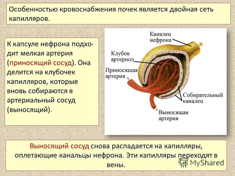 К капсуле нефрона подхо дит мелкая артерия (приносящий сосуд). Она делится на клубочек капилляров, которые вновь собираются в артериальный сосуд (выносящий). Особенностью кровоснабжения почек является двойная сеть капилляров. Выносящий сосуд снова