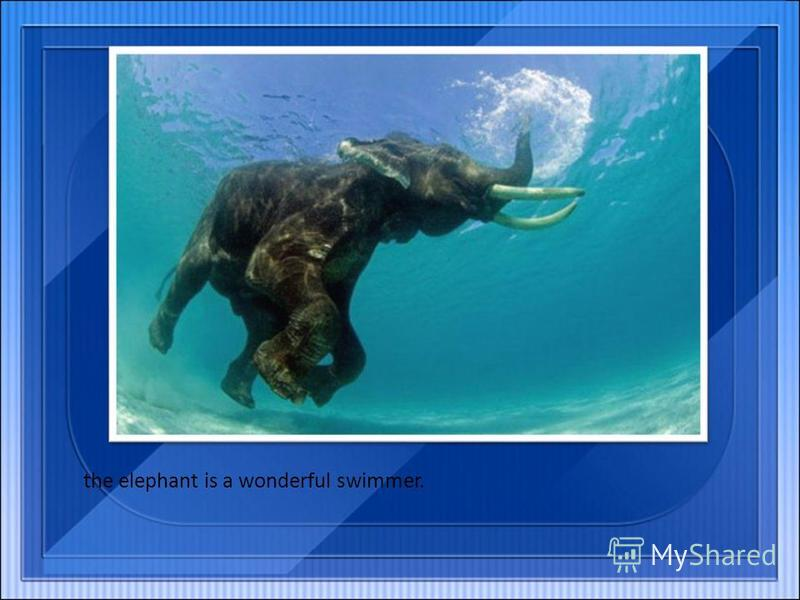 the elephant is a wonderful swimmer.