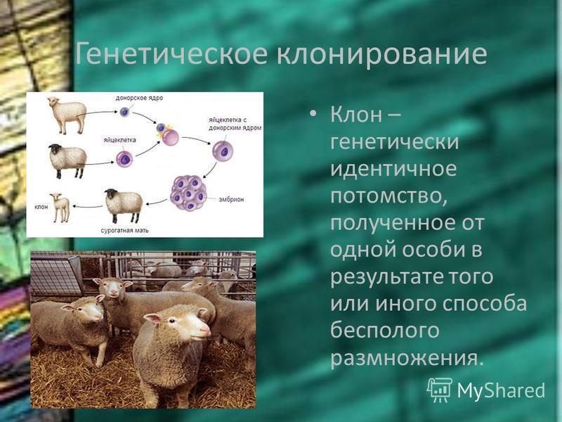 Генетическое клонирование Клон – генетически идентичное потомство, полученное от одной особи в результате того или иного способа бесполого размножения.