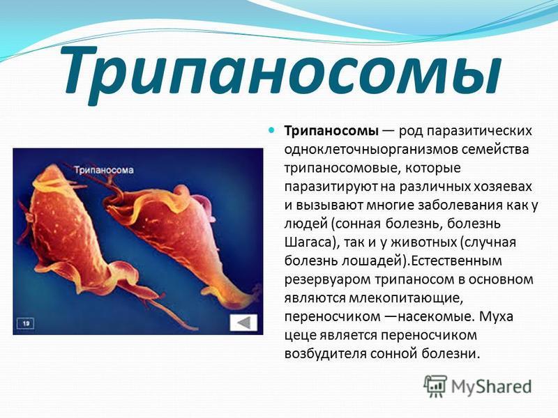Трипаносомы Трипаносомы род паразитических одноклеточныорганизмов семейства трипаносомовые, которые паразитируют на различных хозяевах и вызывают многие заболевания как у людей (сонная болезнь, болезнь Шагаса), так и у животных (случная болезнь лошад