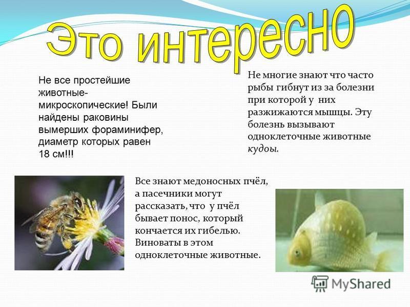 Не все простейшие животные- микроскопические! Были найдены раковины вымерших фораминифер, диаметр которых равен 18 см!!! Все знают медоносных пчёл, а пасечники могут рассказать, что у пчёл бывает понос, который кончается их гибелью. Виноваты в этом о