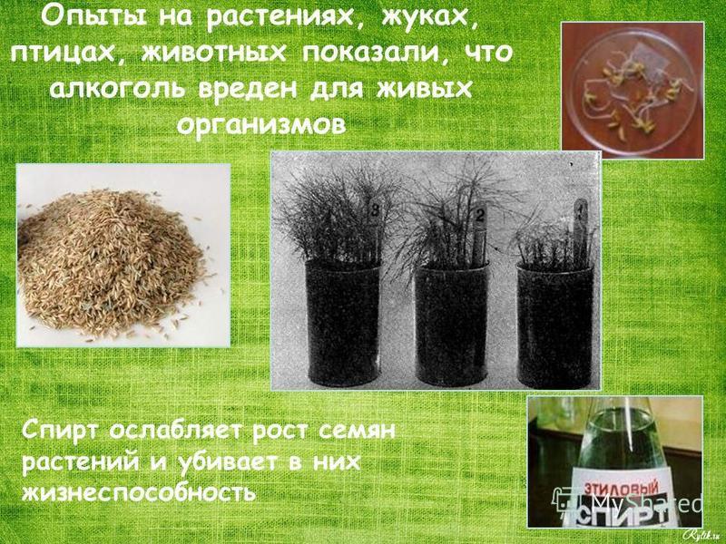 Опыты на растениях, жуках, птицах, животных показали, что алкоголь вреден для живых организмов Спирт ослабляет рост семян растений и убивает в них жизнеспособность