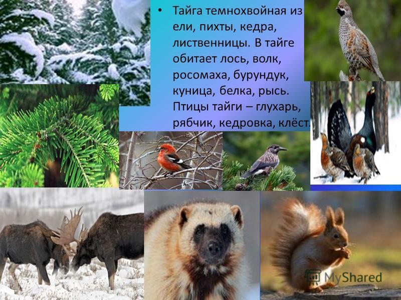 Тайга темнохвойная из ели, пихты, кедра, лиственницы. В тайге обитает лось, волк, росомаха, бурундук, куница, белка, рысь. Птицы тайги – глухарь, рябчик, кедровка, клёст.