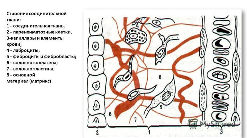 Строение соединительной ткани: 1 - соединительная ткань, 2 - паренхиматозные клетки, 3-капилляры и элементы крови; 4 - лаброциты; 5 - фиброциты и фибробласты; 6 - волокно коллагена; 7 - волокно эластина; 8 - основной материал (матрикс )