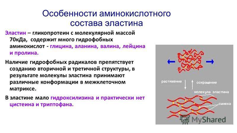 Особенности аминокислотного состава эластина Эластин – гликопротеин с молекулярной массой 70 к Да, содержит много гидрофобных аминокислот - глицина, аланина, валина, лейцина и пролина. Наличие гидрофобных радикалов препятствует созданию вторичной и т