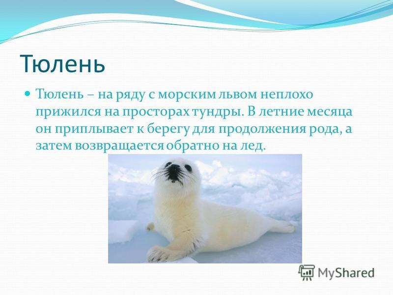Тюлень Тюлень – на ряду с морским львом неплохо прижился на просторах тундры. В летние месяца он приплывает к берегу для продолжения рода, а затем возвращается обратно на лед.