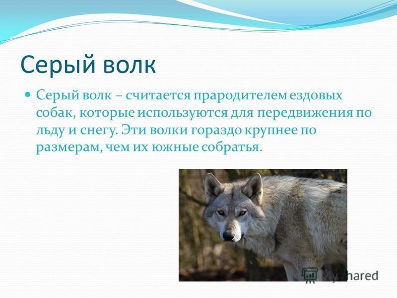 Серый волк Серый волк – считается прародителем ездовых собак, которые используются для передвижения по льду и снегу. Эти волки гораздо крупнее по размерам, чем их южные собратья.