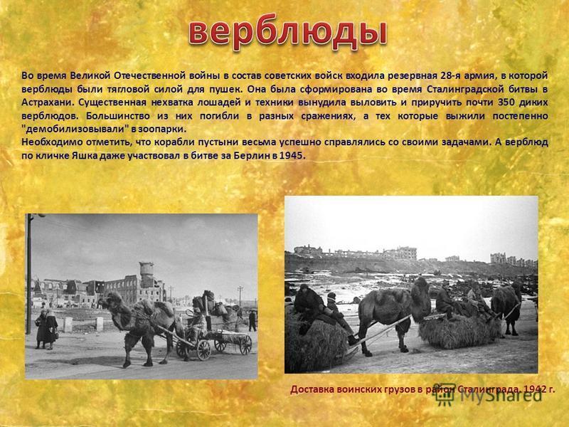 Во время Великой Отечественной войны в состав советских войск входила резервная 28-я армия, в которой верблюды были тягловой силой для пушек. Она была сформирована во время Сталинградской битвы в Астрахани. Существенная нехватка лошадей и техники вын