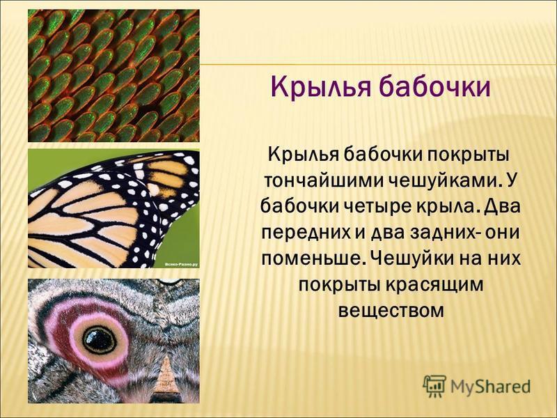 Крылья бабочки Крылья бабочки покрыты тончайшими чешуйками. У бабочки четыре крыла. Два передних и два задних- они поменьше. Чешуйки на них покрыты красящим веществом