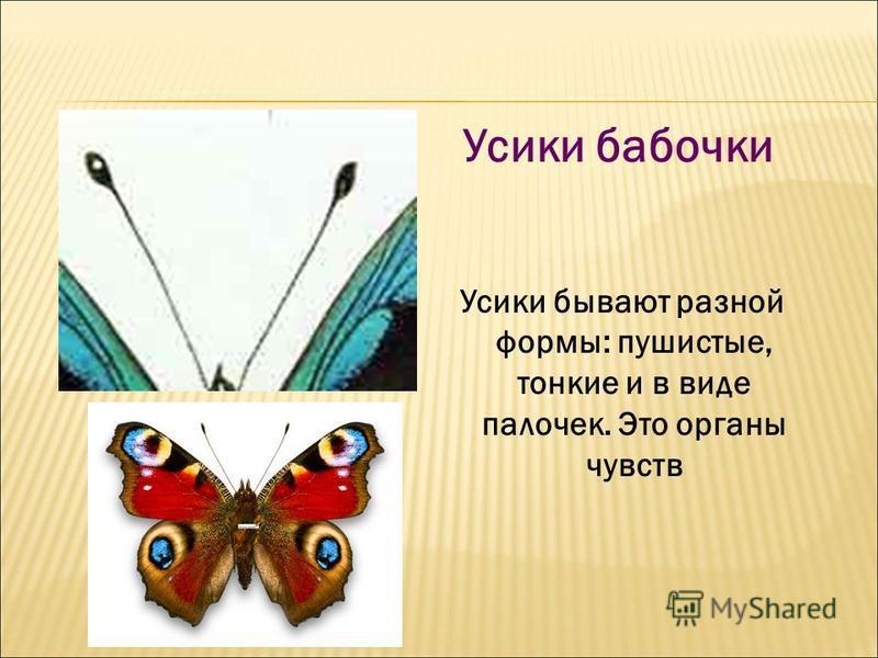 Усики бабочки Усики бывают разной формы: пушистые, тонкие и в виде палочек. Это органы чувств