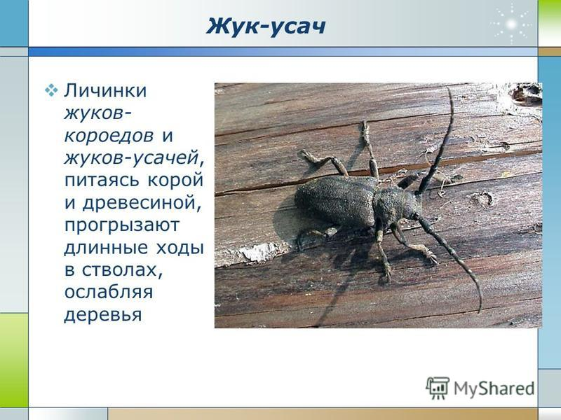 Жук-усач Личинки жуков- короедов и жуков-усачей, питаясь корой и древесиной, прогрызают длинные ходы в стволах, ослабляя деревья