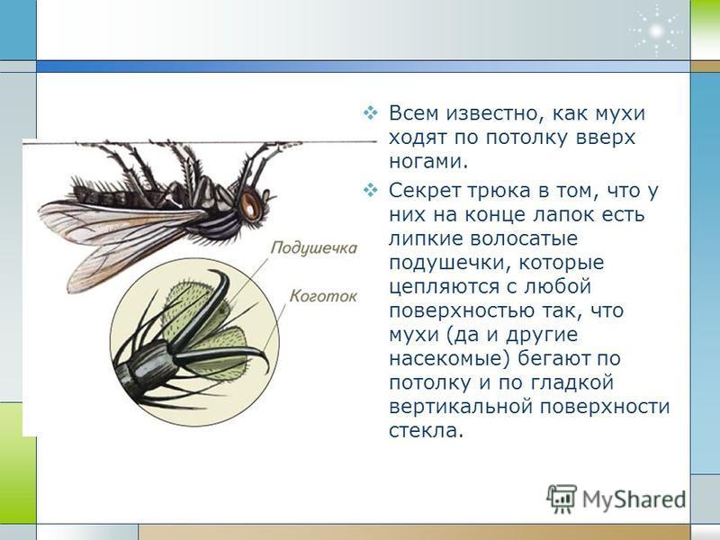 Всем известно, как мухи ходят по потолку вверх ногами. Секрет трюка в том, что у них на конце лапок есть липкие волосатые подушечки, которые цепляются с любой поверхностью так, что мухи (да и другие насекомые) бегают по потолку и по гладкой вертикаль