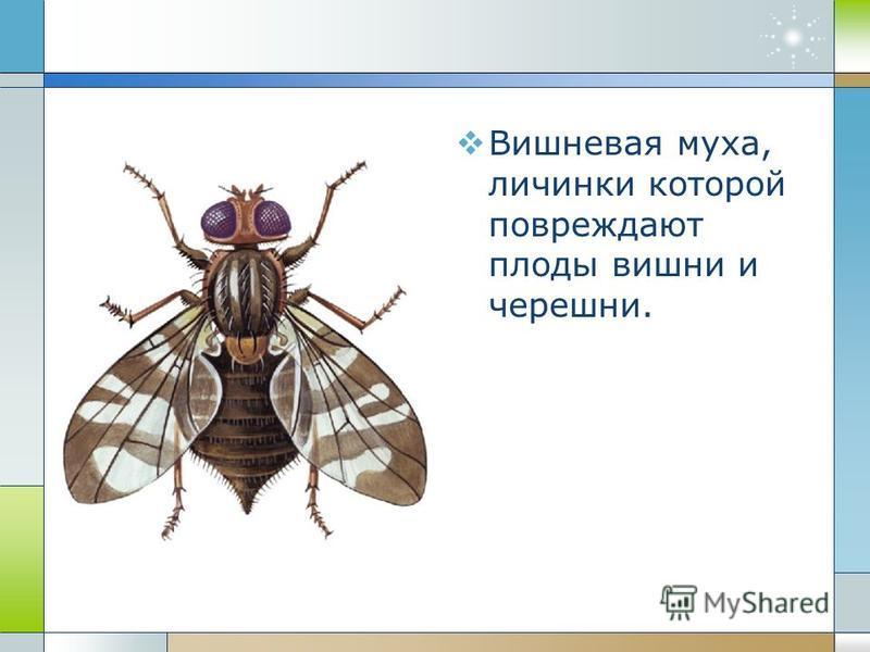 Вишневая муха, личинки которой повреждают плоды вишни и черешни.