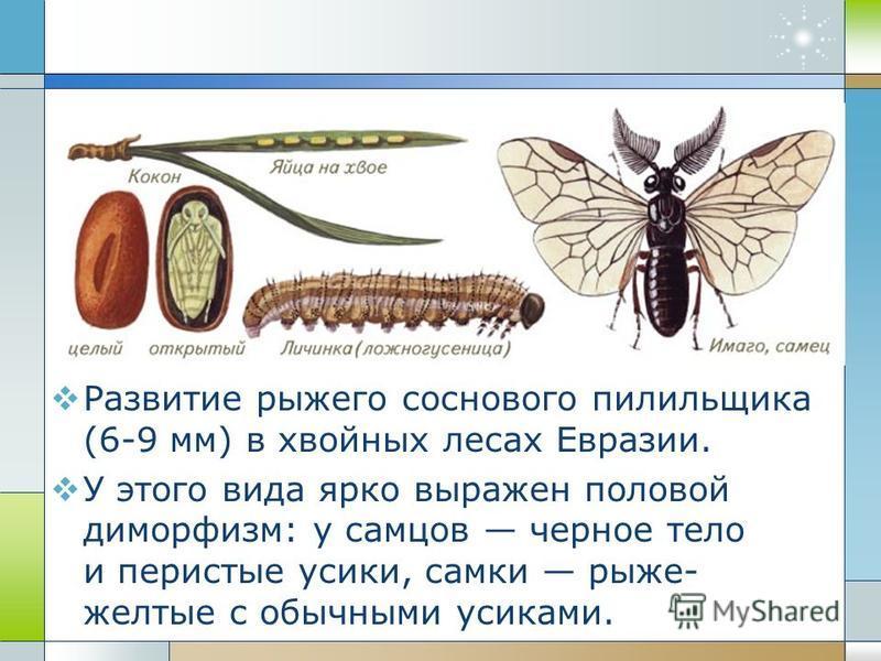 Развитие рыжего соснового пилильщика (6-9 мм) в хвойных лесах Евразии. У этого вида ярко выражен половой диморфизм: у самцов черное тело и перистые усики, самки рыже- желтые с обычными усиками.